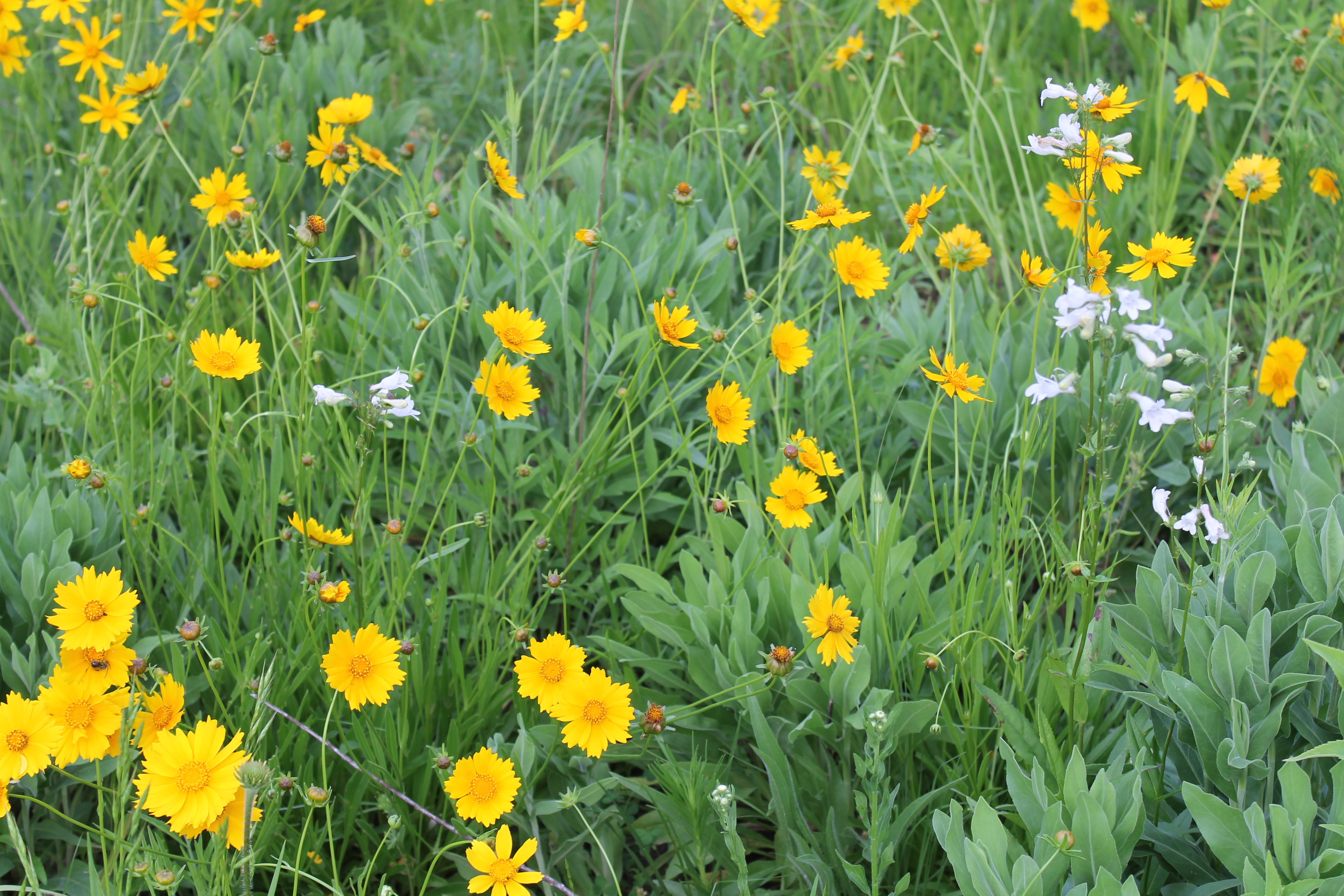 Plants pearl creek farm page 2 beardtongue white and coreopsis yellow flowers bloom in may mightylinksfo