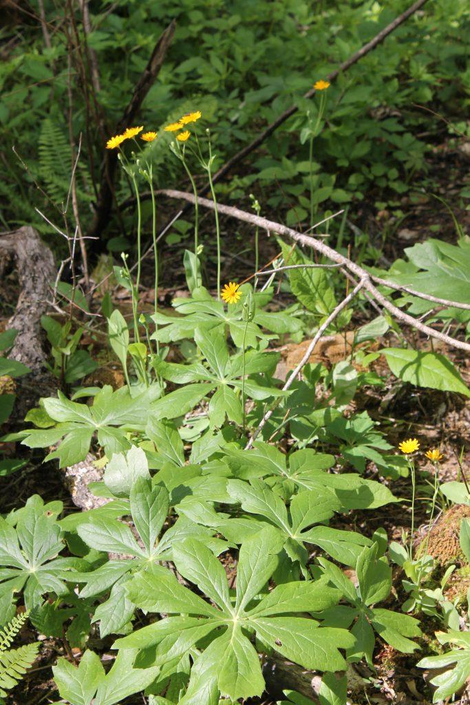 Two-flower Dwarf Dandelion growing in a bed of Mayapple